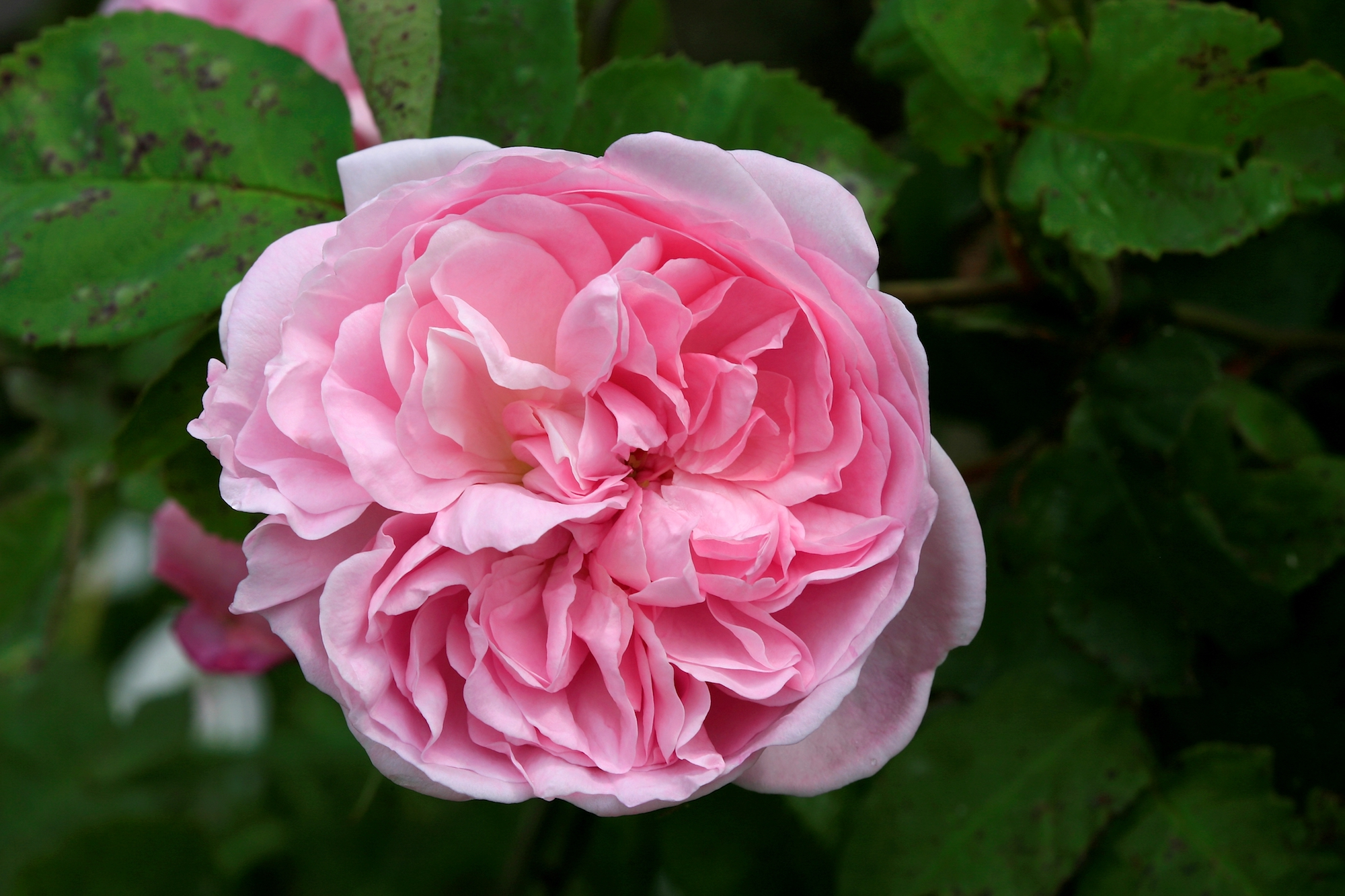 Rosa centifolia in chanel no 5 perfume