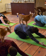 Yoga With Baby Goats Is The Zen You Need Today