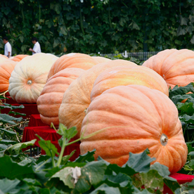 North America's Biggest Pumpkin Weighs Almost as Much as a Car