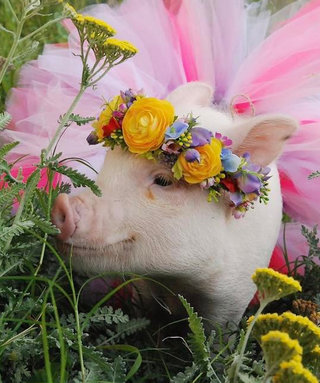 This Piggy Influencer Has More Instagram Followers Than You