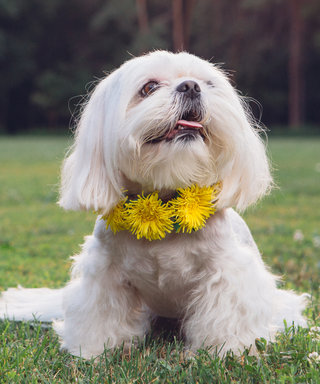 "Yes, Flower ""Crowns"" for Dogs Exist"