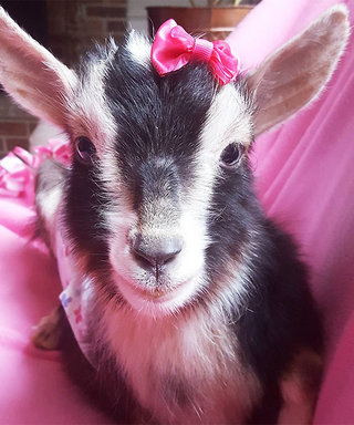 It's Official: Goats Are the New Puppies of Instagram