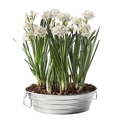 HOLIDAY GIFT GUIDE, CO-WORKERS, Paperwhites in galvanized tray