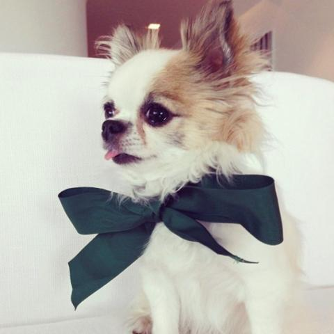 Celebrity Dogs - Copper the long-haired chihuahua