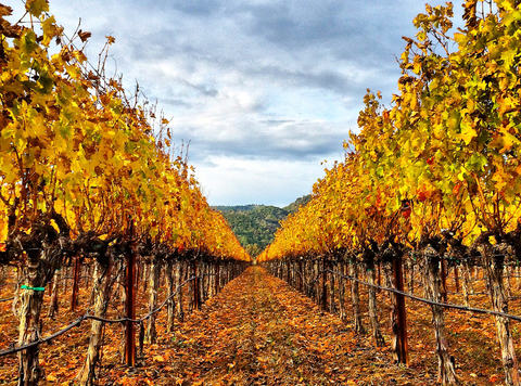 Fall Foliage Napa