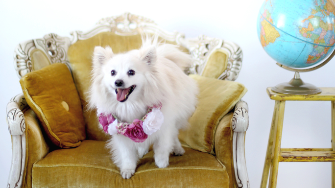 Celebrity Pup Takeover: A Day in the Life of a Dog Superstar