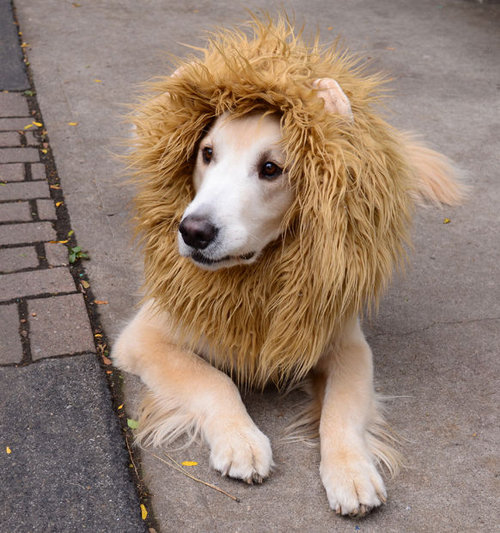 <p><strong>Lion Dog</strong></p>