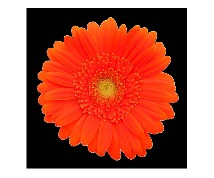 Sizzling Orange Gerber Daisy Canvas
