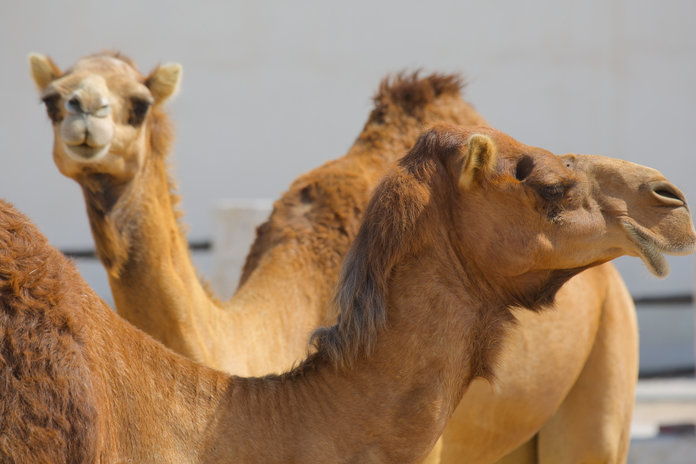 Camel Milk Is Now A Superfood (And Of Course Kim Kardashian Has Already Tried It)