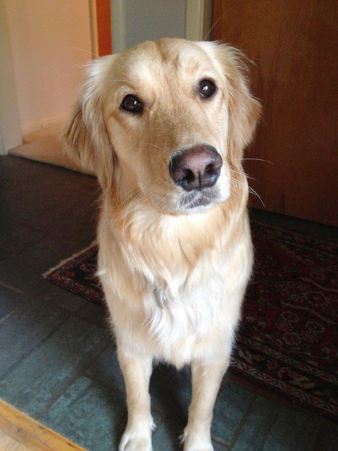 Pipa - adorable Golden Retriever