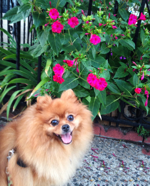 Piper - adorable Pomeranian